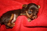 Yorkshire Terrier PUPPY FOR SALE ADN-52669 - Yorkie Puppies