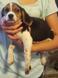 Beagle PUPPY FOR SALE ADN-52444 - AKC Registered Beagle Puppy Female 1