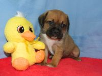 Puggle PUPPY FOR SALE ADN-64802 - Beautiful Puggle Pups for sale