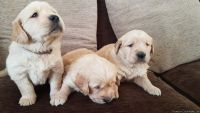 Densly Golden Retriever Puppies Available