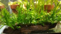 Driftwood with attached Lace Java Fern and Anubias nana Petite 7 in