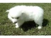 Preston American Eskimo Puppy