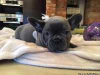X mass Gorgeous French Bulldog Puppies for sale.