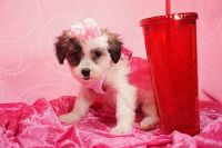 Beautiful Teacup and Toy designer breed for sale now in Las Vegas/Henderson