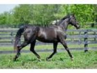 Adopt Miss Lady Fan-companion a Bay Thoroughbred / Mixed horse in Nicholasville