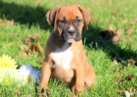 Boxer PUPPY FOR SALE ADN-52277 - Boxer Puppy For Sale