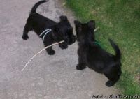 uuyyur AKC Scottish Terrier Puppies For Sale