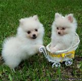 Excellent Pomeranian Puppies For A Good Homes
