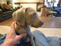 Weimaraner PUPPY FOR SALE ADN-62959 - 5 AKC Registered Weimaraner Puppies