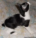 C,^& Manx Cat Breed Kittens For Sale