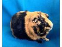Adopt Valentine & Cupid a Guinea Pig