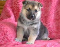 German Shepherd Puppies For Available Text Me 919 590-5872