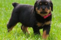 sdgshbdhffg Rottweilers puppies for sale