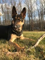 German Shepherd Dog PUPPY FOR SALE ADN-55259 - 9 month old female GSD