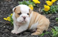 AKC English Bulldog Puppies Text and sms us at; (724) 7O5 - 9730