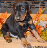 VNDTRY DOBERMAN PINSCHER PUPPIES AVAILABLE FOR SALE Text: (4O4) 692 XX 3714