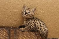 Best Prices Anywhere F2 Savannah Kittens