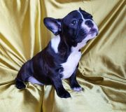 French Bulldog PUPPY FOR SALE ADN-54535 - FrenchieZ PuP
