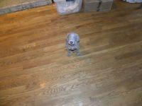 Weimaraner PUPPY FOR SALE ADN-62961 - 5 AKC Registered Weimaraner Puppies