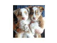 MINI AUSSIE PUPPIES, READY FOR LOVING HOMES, ...
