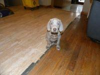 Weimaraner PUPPY FOR SALE ADN-62960 - 5 AKC Registered Weimaraner Puppies