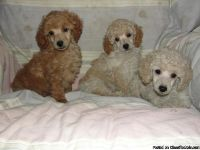 Protective Poodle puppies available