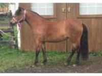 Adopt Chase a Pony - Welsh / Mixed horse in Quakertown, PA (19268920)