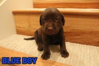 Labrador Retriever PUPPY FOR SALE ADN-62842 - Chocolate Labrador Retriever Puppies