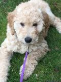 Goldendoodle Puppy for Sale,