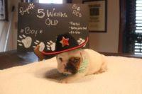 English Bulldog PUPPY FOR SALE ADN-63157 - AvailaBULL  Standard English Bulldog