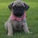 bn Purebred Pug Puppies available,