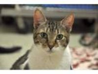 Adopt Gracie a Domestic Shorthair / Mixed (short coat) cat in Ft.