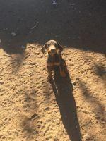 Doberman Pinscher PUPPY FOR SALE ADN-44931 - Dobermen Pinscher puppies