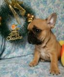 French Bulldog PUPPY FOR SALE ADN-62337 - French Bulldog Female