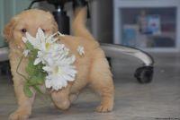 stunning classy Golden retriever puppies for sale