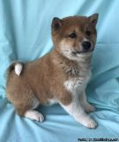 LDOAD M\F Shiba Inu Puppies.