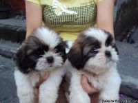 Adorable Shih Tzu Puppies For Re