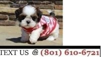 Respectful Registered Shih Tzu Puppies Available