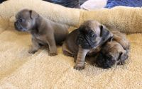 Attractive males and females french bulldog pups for sale Text (443) 563-1239