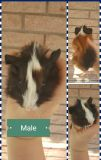 Baby male guinea pig