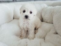 Maltipoo - Male - Phillip