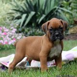 NICE Boxer Puppies Available