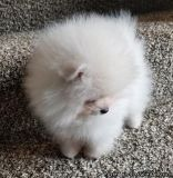 NICE M/F POMERANIAN PUPPIES Available For Sale,