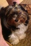 Yorkshire Terrier PUPPY FOR SALE ADN-66630 - Tiny Dancer