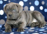 Cane Corso PUPPY FOR SALE ADN-64356 - Cane Corso Puppy for Sale