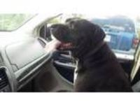 Adopt Cupid a Pit Bull Terrier
