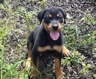 Pioneering Rottweiler Puppies Available Now
