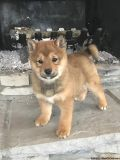 oiuyun Shiba Inu Puppies Ready for sale