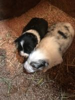 Border Collie PUPPY FOR SALE ADN-63711 - Border collie pups for sale