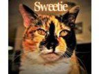 Adopt Sweetie a Calico or Dilute Calico Calico / Mixed (short coat) cat in